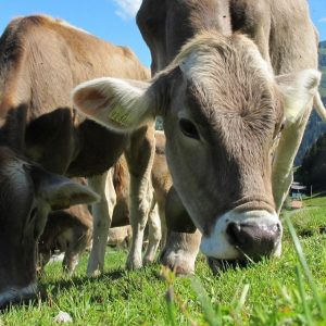 Weed Free Gravel and Forage Cows Eating Grass