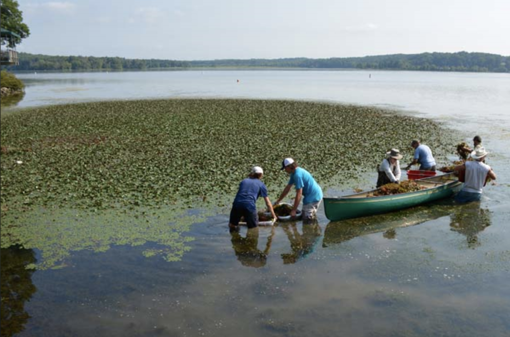 Invasive species managers use a canoe to gather Trapa bispinoa