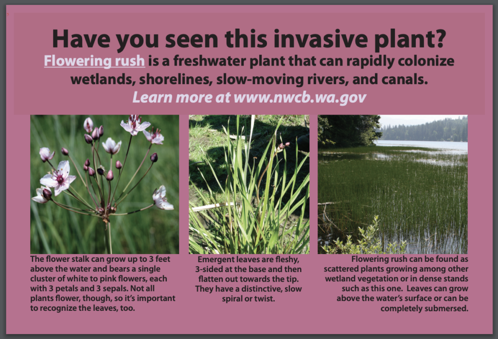 Flowering Rush invasive species postcard