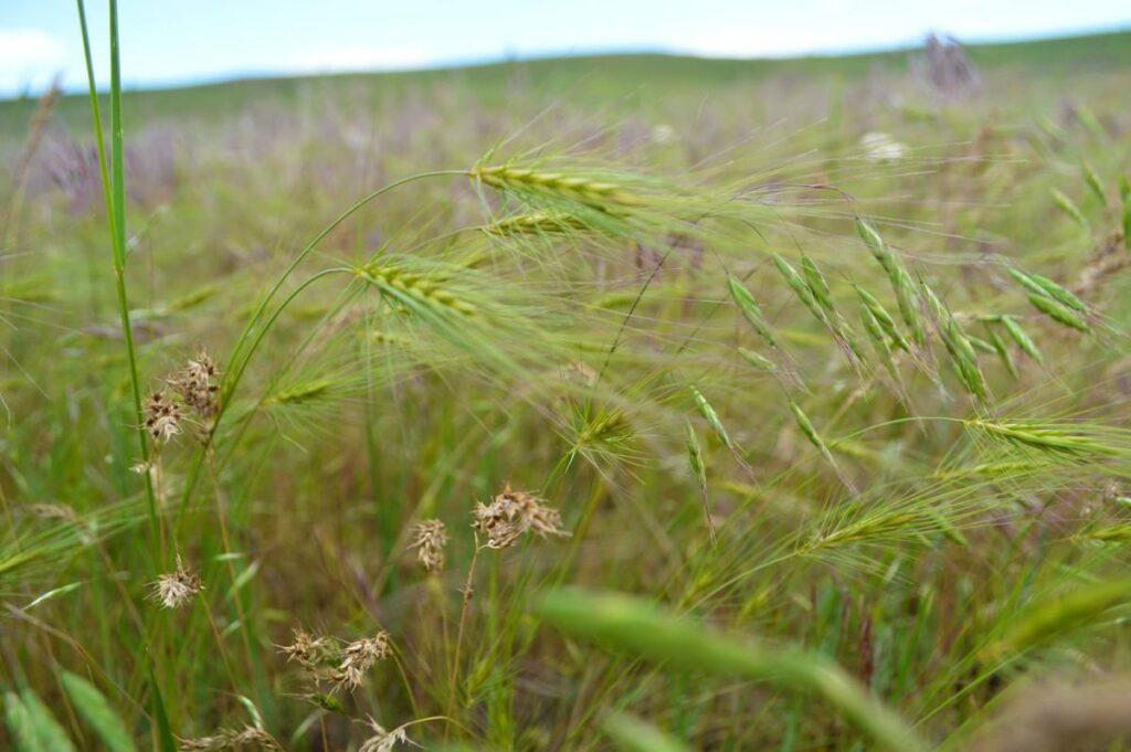 medusahead invasive plant close-up
