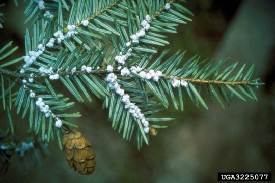 Hemlock branch with white egg masses of Hemlock Wooly Adelgid.