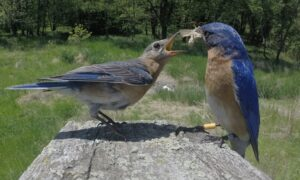 male bluebird feeding a moth to a juvenile