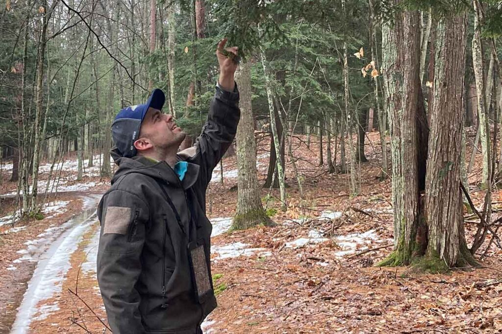 man inspects hemlock branches for egg sacs