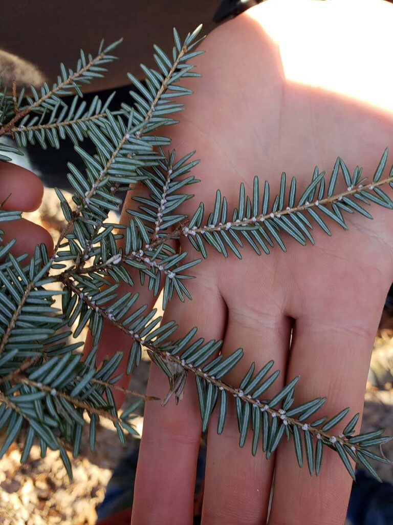 close-up of hemlock branch