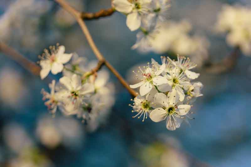 Bradford pear tree blossoms