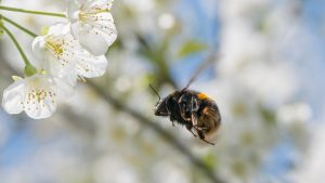 buff tailed bumblebee flying toward white flowers