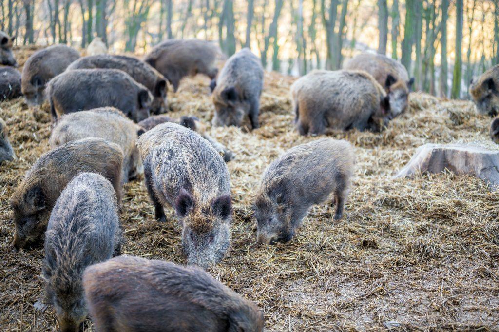 a dozen wild boar or feral hogs, root in soil