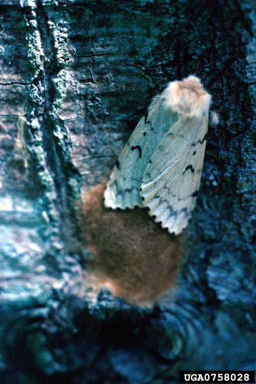 invasive L. dispar moth with tan, fuzzy egg mass