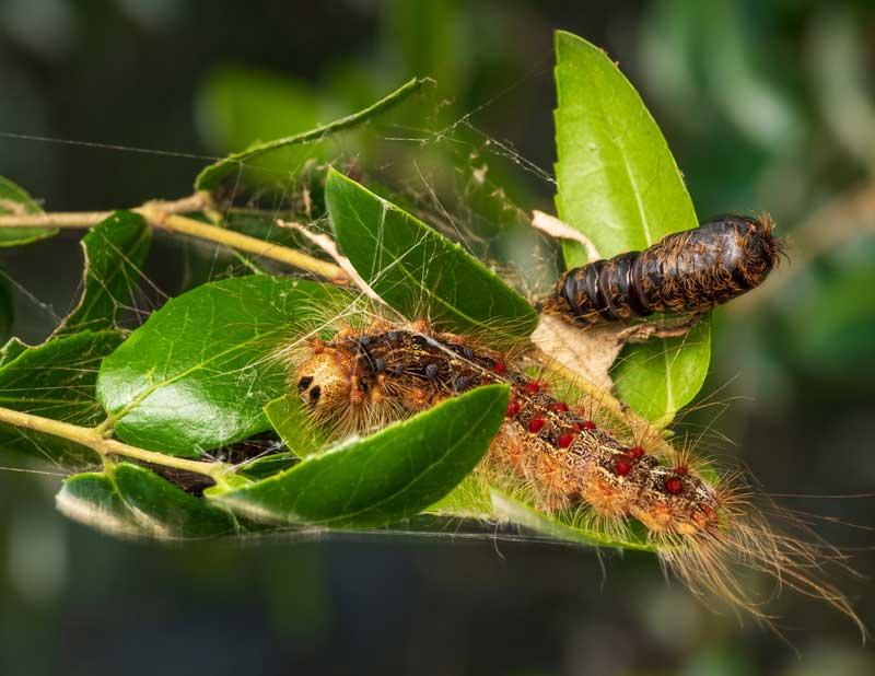 L. dispar caterpillar and pupa