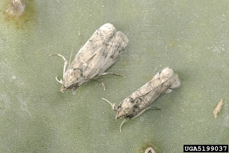 Two gray-brown specimens of adult cactus moth, an invasive moth in Southeastern U.S.