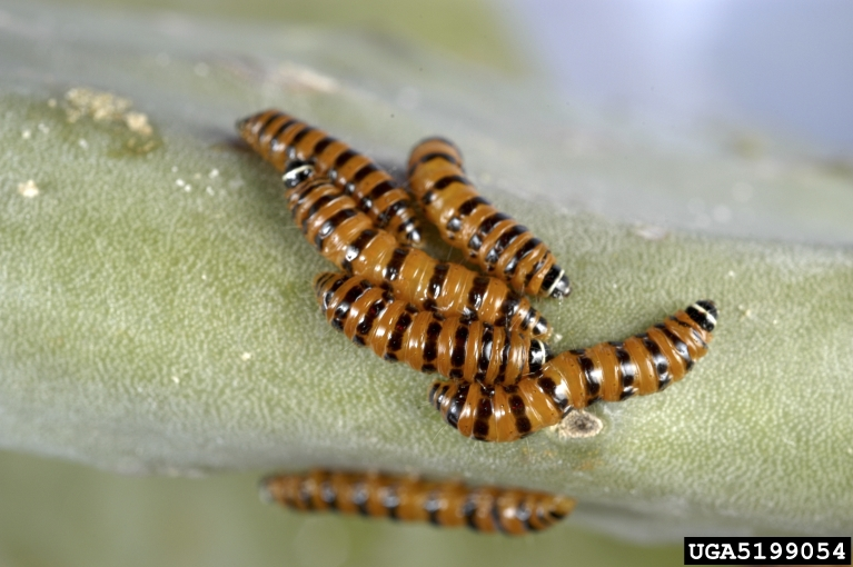 cactus moth larvae on the pad of a prickly pear