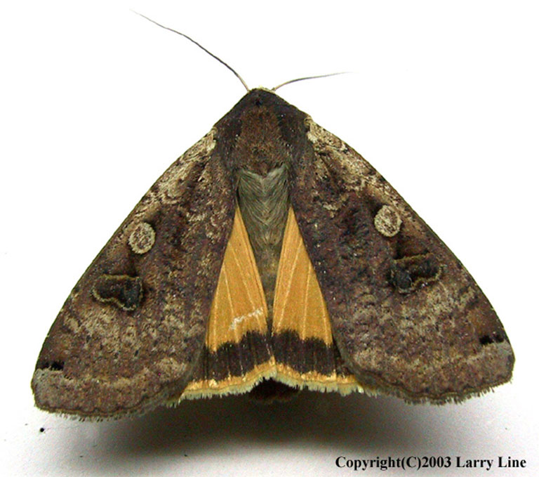 Closeup of large yellow underwing moth, an invasive moth with yellow-orange wings tucked behind much darker brown wings with a light spot and a darker kidney spot.