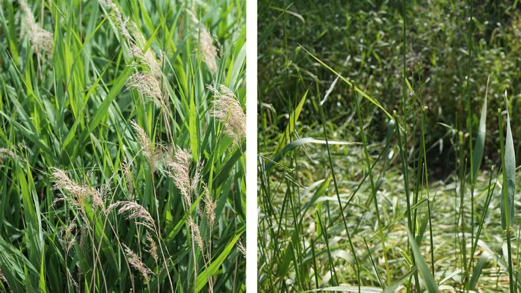 the invasive plant Phragmites australis, before and after seed head removal and disposal