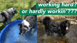 dogs in pool and stream - hardly working