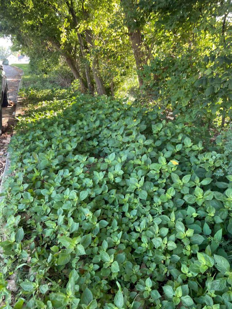 perilla mint invasion on roadside