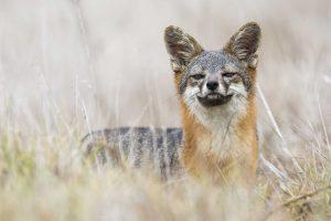 island fox in Channel Islands